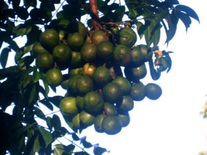 Naus, a tropical fruit eaten in Vanuatu, was in full season when Pam hit. There is none left in the affected areas.